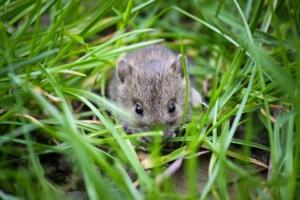 Mice Rat Exterminator Sacramento CA